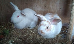 Poppy and Charlie - female and neutered male rabbits, approx 4/5years old. This friendly couple need a home together.
