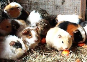 Guinea Pigs waiting for new homes!